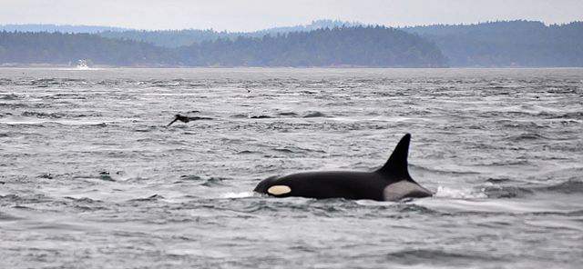 Granny, J-pod orca, J-2 - Photo by Leigh Calvez