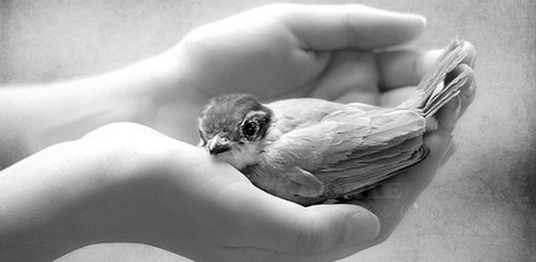 Kind hands gently holding a small bird.