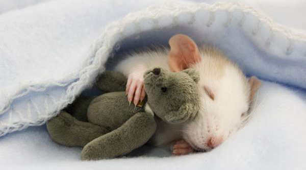 A little rat sleeping with arm around a tiny teddy bear.